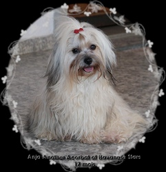 Anja Another Acrobat of Havanese Stars - Marguerite Seeberger