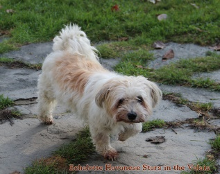 Babette, officiellement Echalotte Havanese Stars in the Valais (FCI) 16 ans