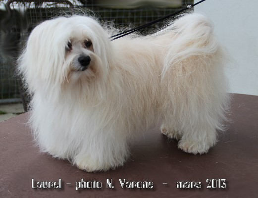 Lovely Lord Laurel of Havanese Stars 7 ans à N. Varone - bichon havanais- mâle reproducteur
