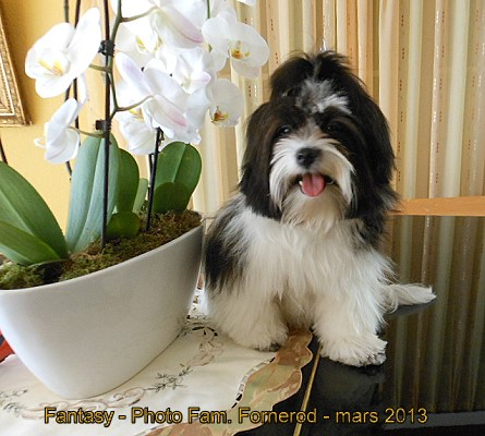 Bichon havanais femelle Fun For my Fantasy of Havanese Stars - Fam. Fornerod - 8 mois