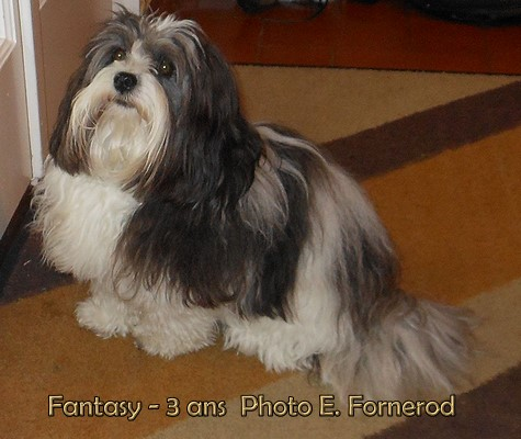 Bichon Havanais Fun for my Fantasy of Havanese Stars à Mme Erica Fornerod