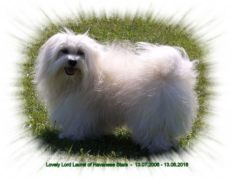bichon havanais Lovely Lord Laurel of Havanese Stars à Mme Nicole Varone