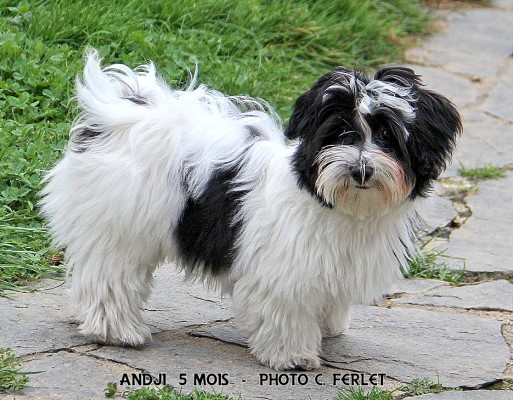 Andji the 4th of Havanese Stars - Marguerite Seeberger