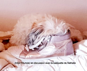 Artos the 4th of Havanese Stars