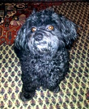 Elroy the Sixth Sense of Havanese Stars - Marguerite Seeberger