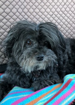Elvis the sixth sense of Havanese Stars (FCI) Marguerite Seeberger Switzerland