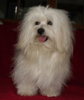 bichon havanais mâle Lovely Lord Laurel at Havanese Stars