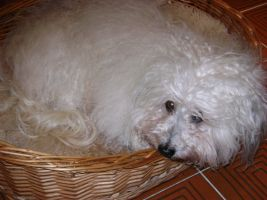 Barberousse Havanese Stars in the Valais a 15 ans.