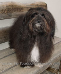 CH Toscane the Teenager of Havanese Stars  havanese  bichon havanais